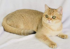 British Shorthair Breed Cat